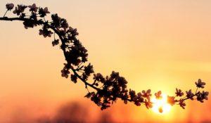 Sonnenuntergang-Blüten
